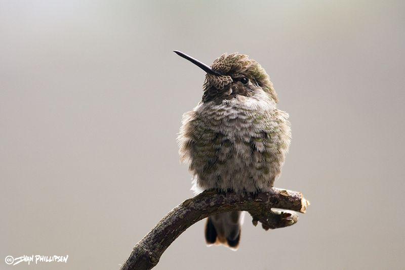Annas-Hummingbird-winter-2