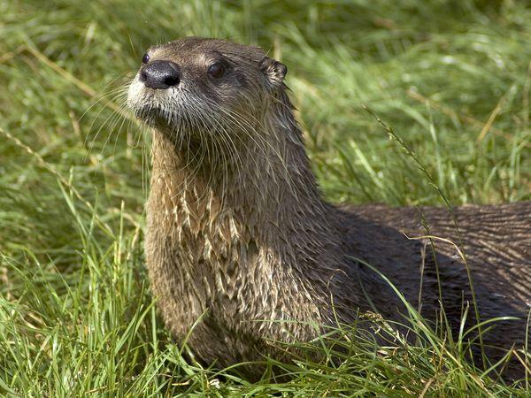 Na-river-otter_641_600x450