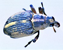 Adult-dorsal1 weevil