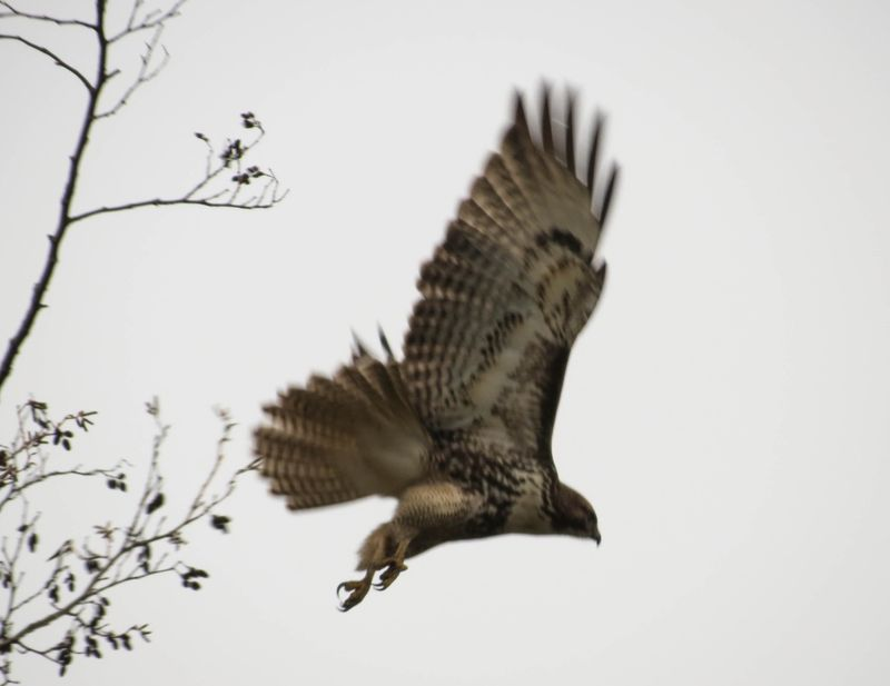 Hawk flying-2592
