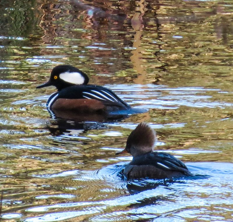 A Hooded Merganser Pair-2751