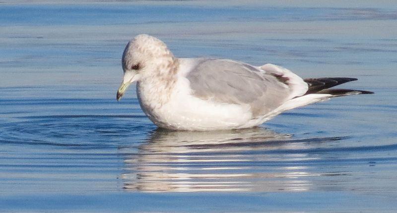 A Gull 1-2820