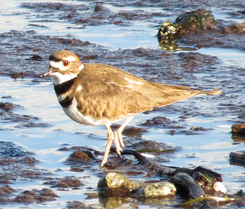 A Killdeer 2-2802