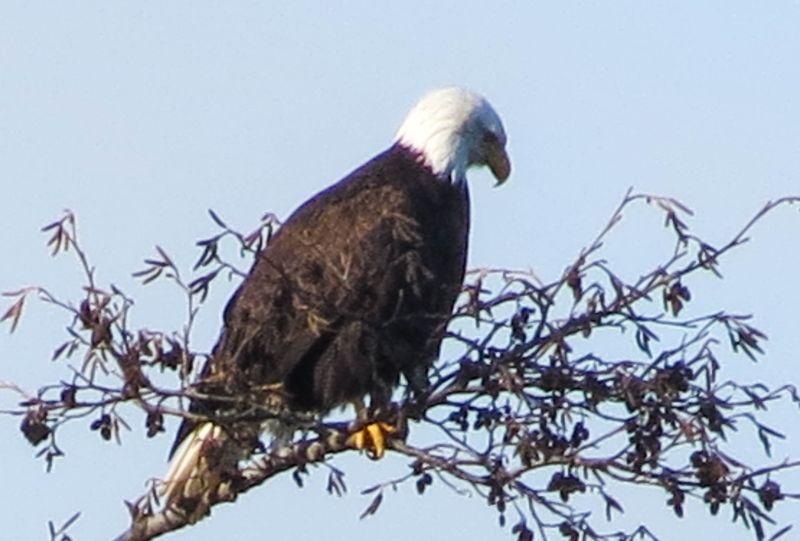 A eagle 2-2834