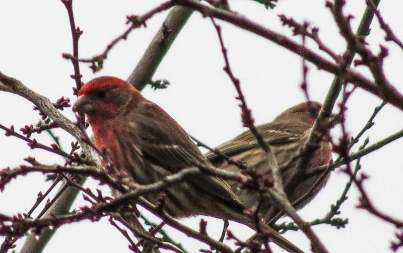 Purple Finch 4-1