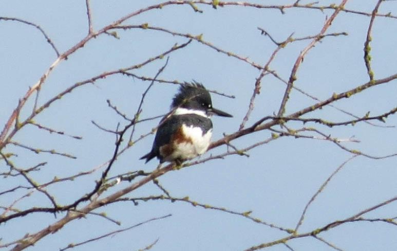 Kingfisher Nisqually 1-1