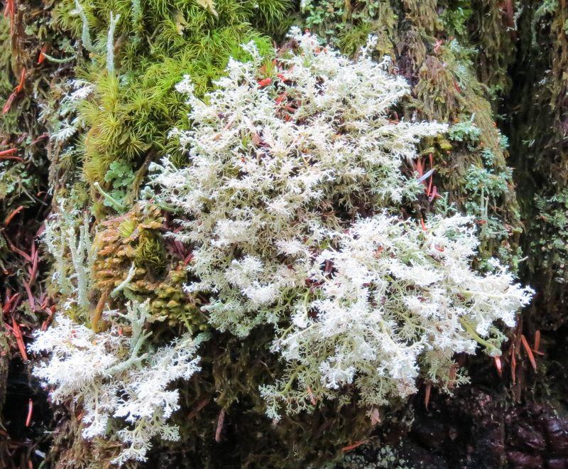 A lichen-1