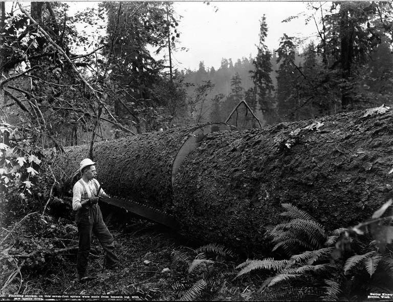 Bucker's crosscuting spruce