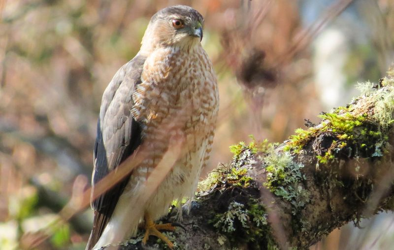A Sharp Shinned Hawk 1-2735