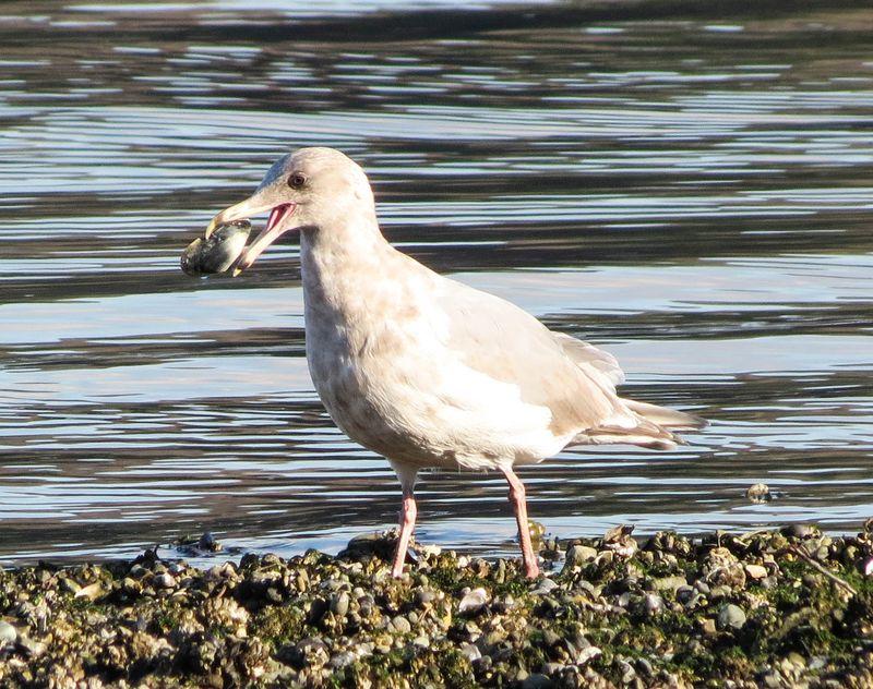 A gull clam 1-2829