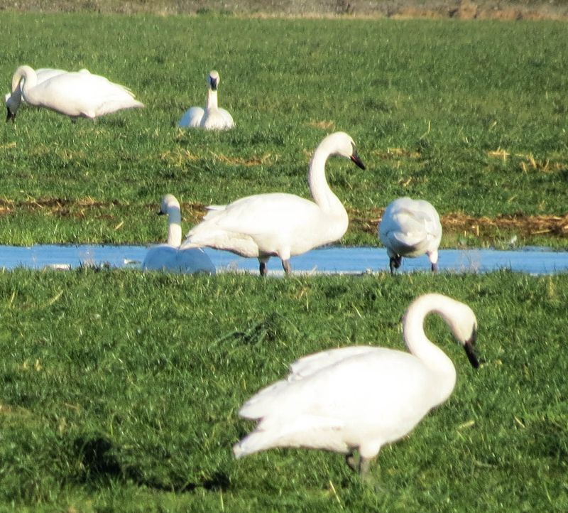 A trumpeter swans 3-3211
