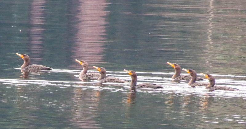 A cormorants 1-3818