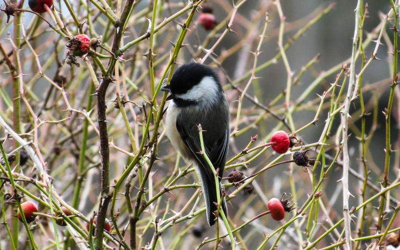 Black Capped Chickadee Whidbey-1