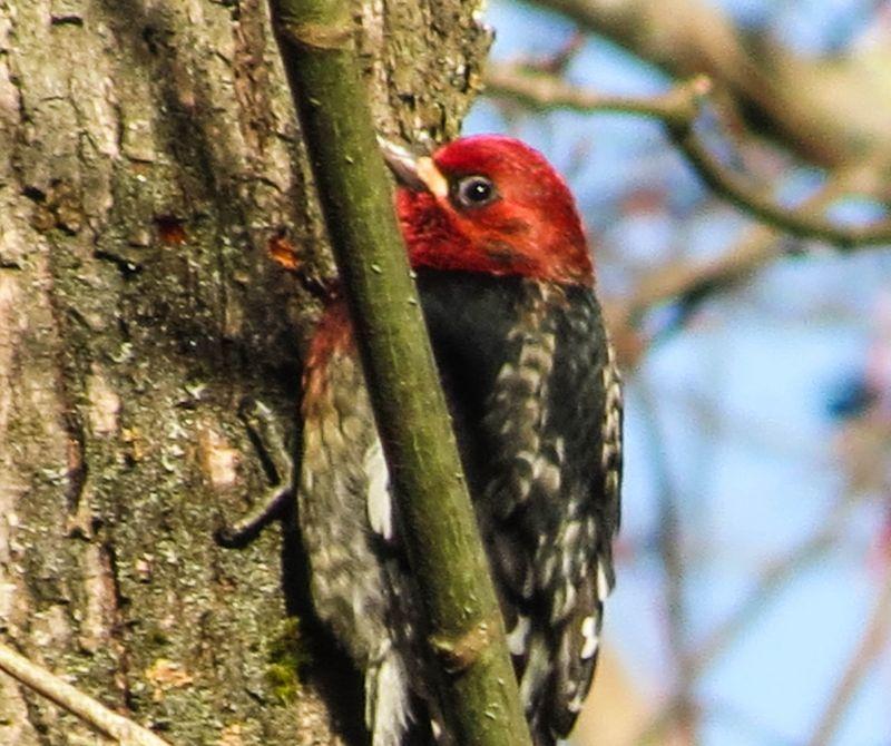 Red breasted sapsucker covington-1