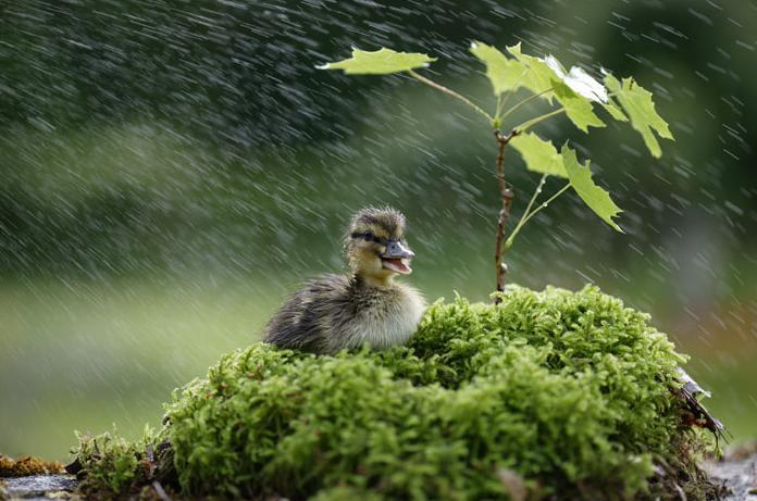 Duck_in_rain 2