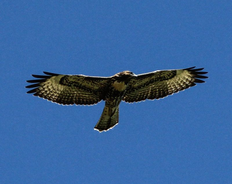 Hawk 5-1