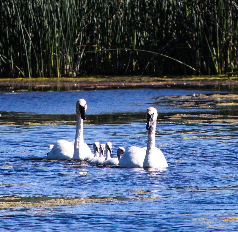 Swans 15-1