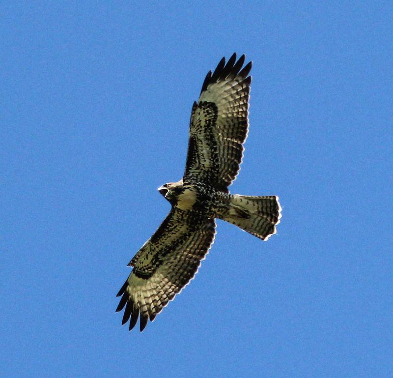 Hawk 1-1