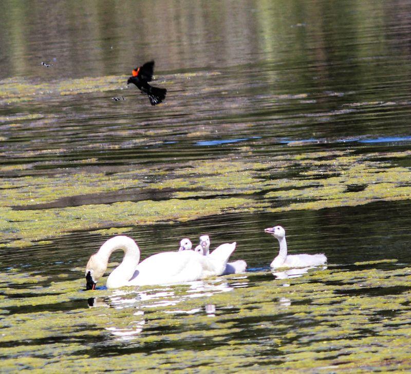 Swan 2-1