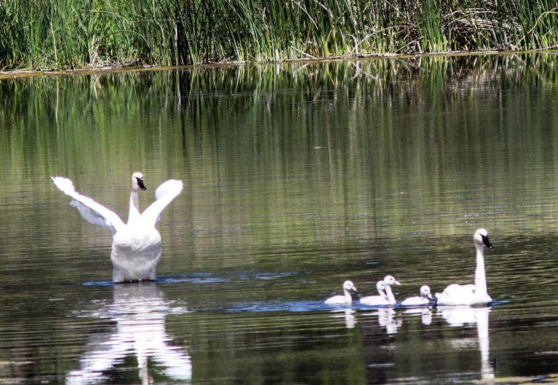 Swans 6-1