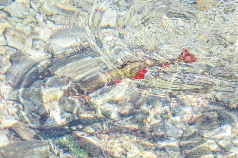 A trout-1
