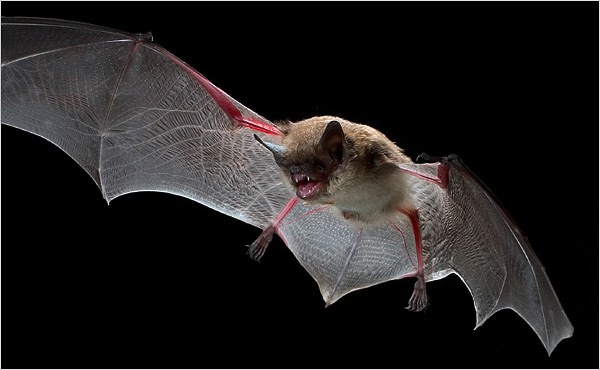 Bats nytimes 25bats.xlarge1