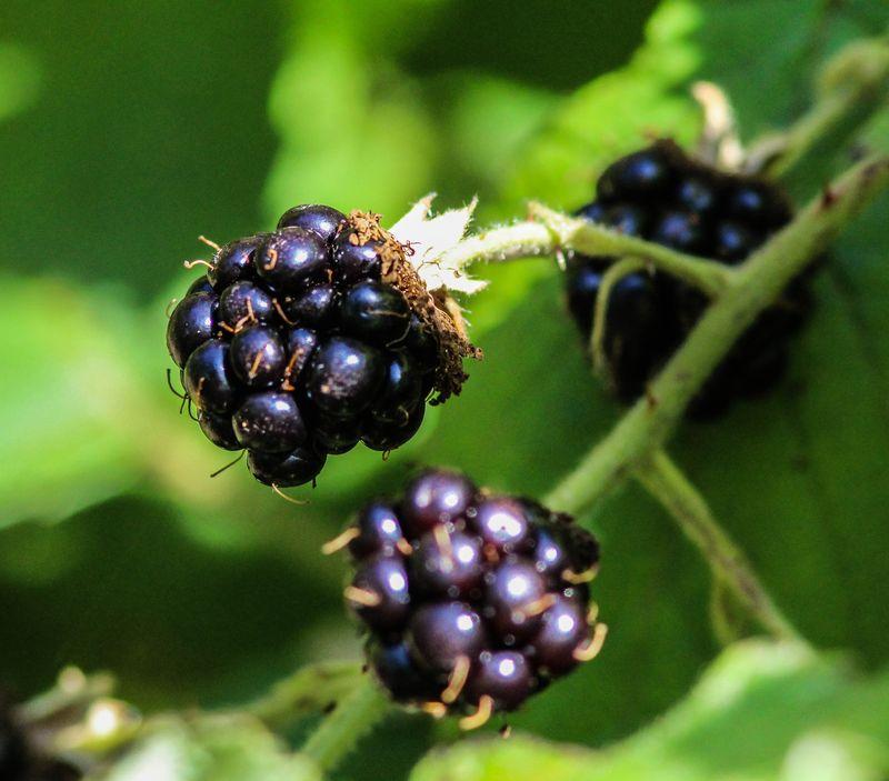 A berry 2-1