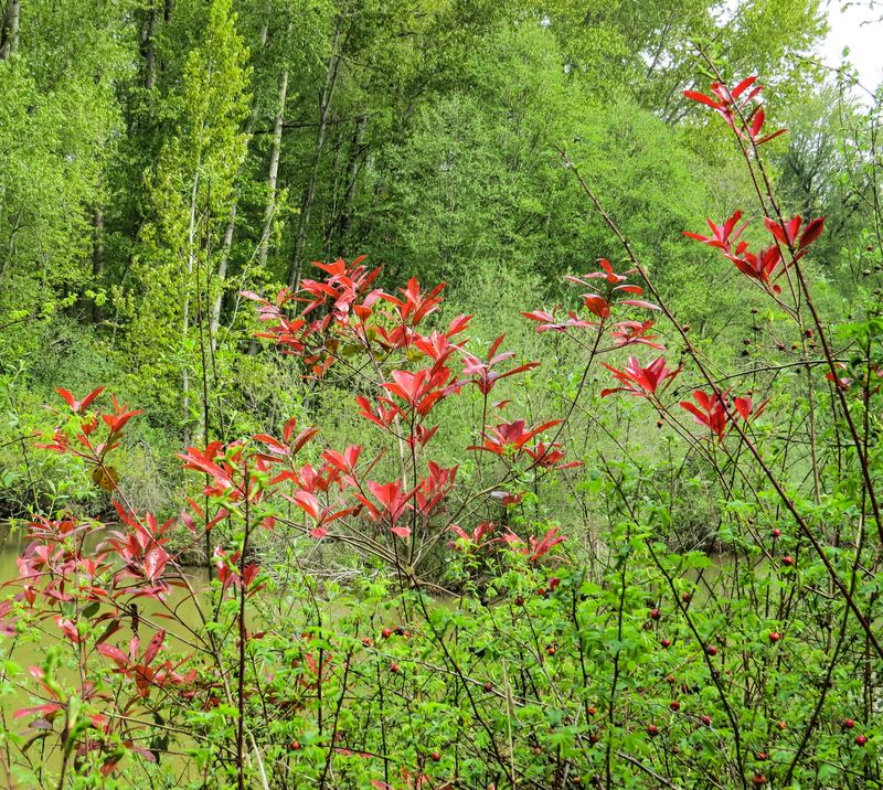 A leaves and berries-1