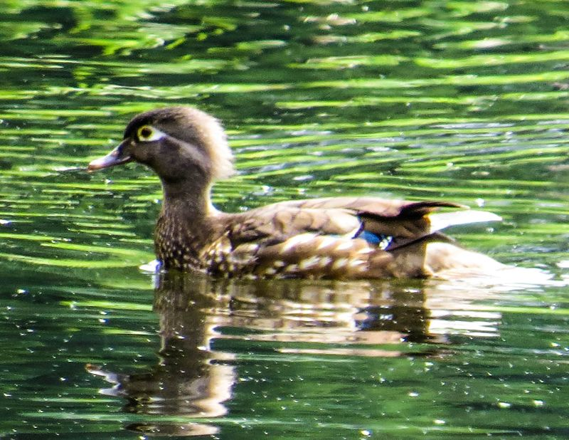 A Female Wood Duck 1-1