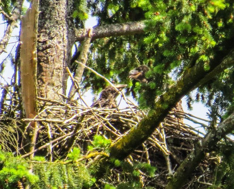 A eaglets 2-1