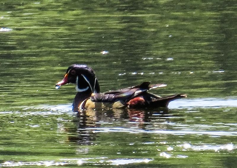 A wood duck 8-1