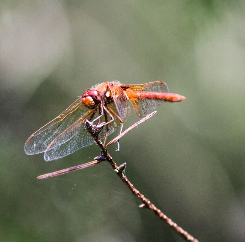 A dragonfly 1-1