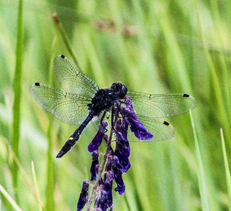 Dragonfly 8-1