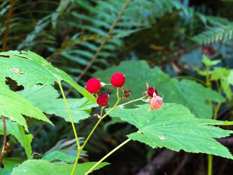 A berries-1