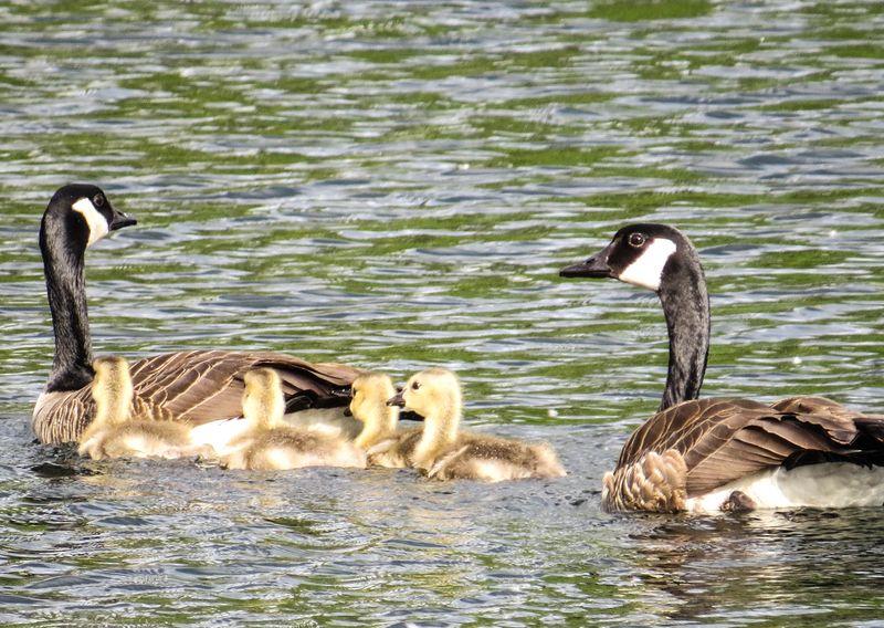 A goslings 4-1
