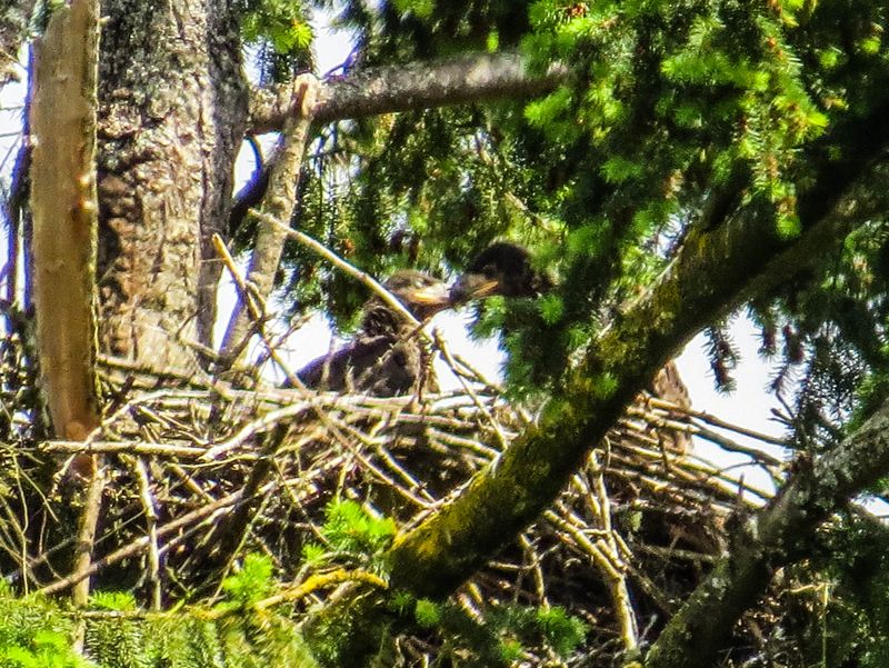 A eaglets 1-1