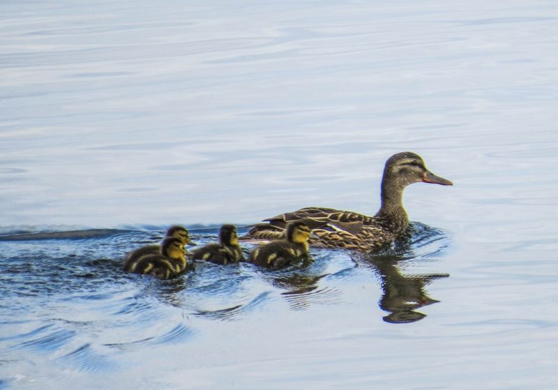 A ducklings 4-1