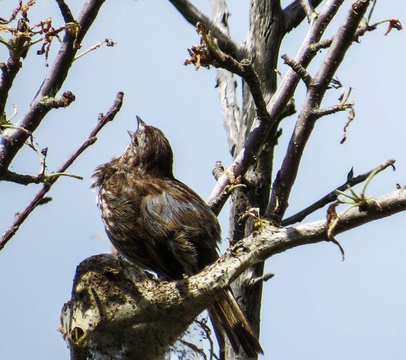 A finch singing-1