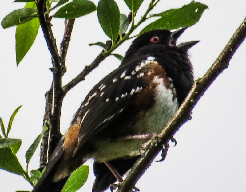 A spotted towhee 3-1