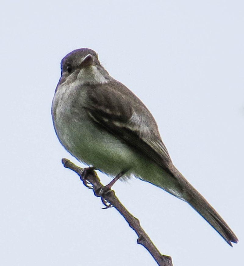 A sparrow-1