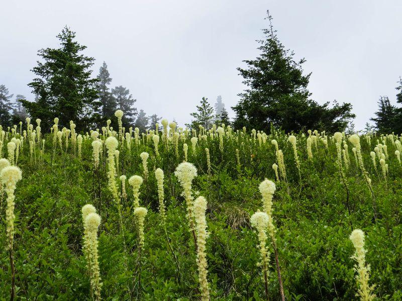 A bear grass-1