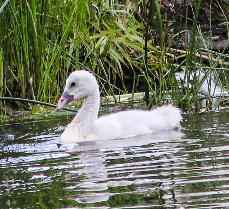 Swans 21-1
