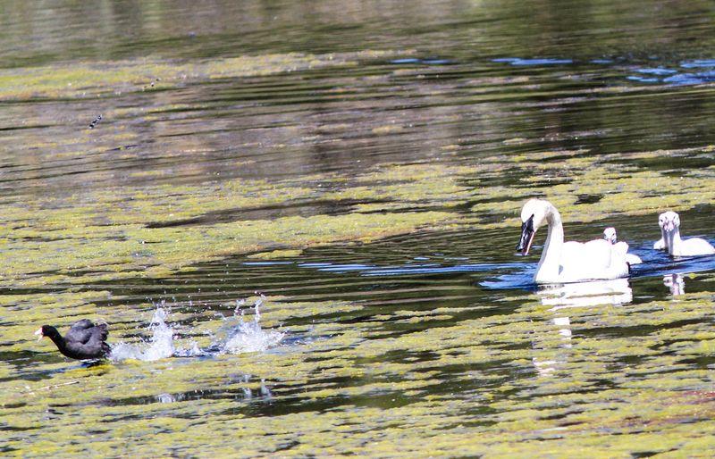 Swans 3-1