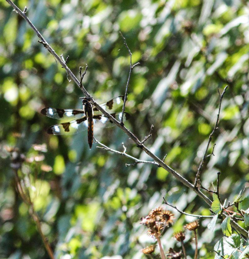 Dragonfly 5-1