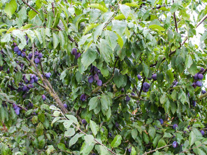 A plums-1