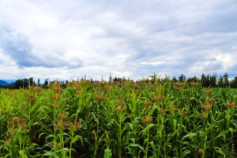 A corn 2-1